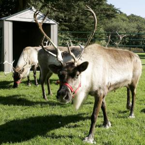 several reindeer at home
